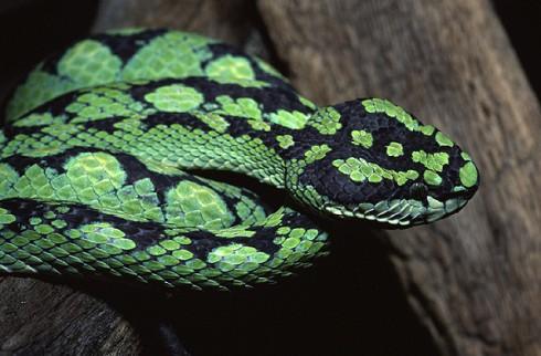 temple-viper-snake
